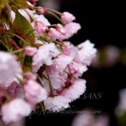 La magie des Sakuras